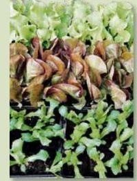 Salat- und Gemüsepflanzen