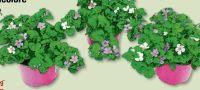 Bacopa Tricolore