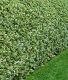 Kirschlorbeer Evergreen Darling