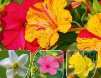 Duftende Blüten von Kölle's Bio