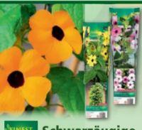 Schwarzäugige Susanne von Finest Garden
