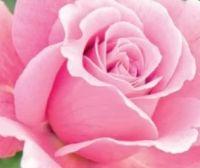 Rosen von Finest Garden