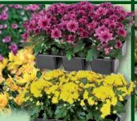 Chrysanthemen von Finest Garden