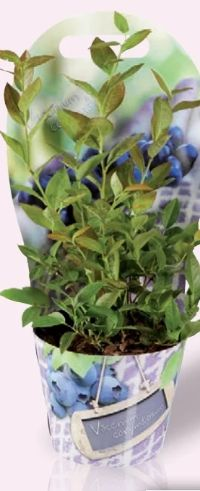 Heidelbeeren Pflanze