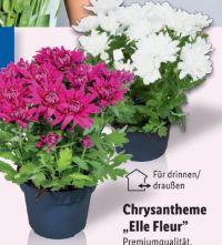 Chrysanthemen Elle Fleur
