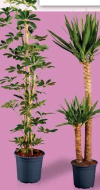 Großegrünpflanze