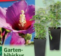 Gartenhibiskus von Finest Garden