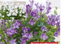 Glockenblume von Gartenkrone