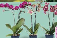 Schmetterlingsorchidee Phalaenopsis