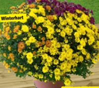 Chrysanthemen Trio